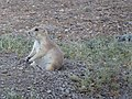 Black-tailed prairie dog sits back to relax!.jpg