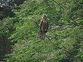 Black Kite (2).jpg