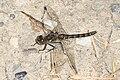 Black Meadowhawk - Sympetrum danae, Scott's Lake Hill, Alberta (36941727065).jpg