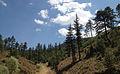 Black Pine - Karaçam - Pinus nigra 04.JPG