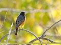 Black Redstart (Phoenicurus ochruros) (50604788388).jpg