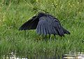 Black heron, Egretta ardesiaca, at Marievale Nature Reserve, Gauteng, South Africa (29612878674).jpg