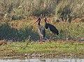 Black stork (Ciconia nigra) in Nepal 2019 040.jpg