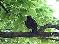 Blackbird, Bystrc 13.JPG