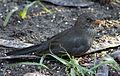 Blackbird in Madrid (Spain) 24.jpg