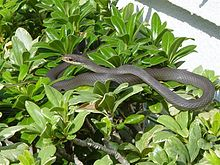Southern black racer , Wikipedia