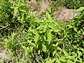 Blainvillea acmella-1-muluvi-yercaud-salem-India.jpg