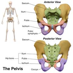 pubic symphysis - wikipedia, Cephalic Vein
