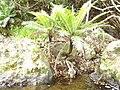 Blechnum gibbum (Labill.) Mett. (AM AK300423).jpg