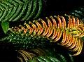 Blechnum novae-zelandiae. (15585478088).jpg