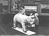 Blind children examining a taxidermied polar bear (Sunderland Museum, June 1913).jpg