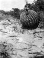 Blommande Echinocactus. Lokal, Tarija-dalen. Tarija. Bolivia - SMVK - 003661.tif