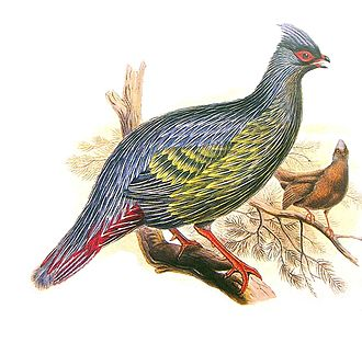 Blood pheasant - Illustration by Henry Constantine Richter, 1832