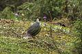 Blood Pheasant - Bhutan S4E8016 (15548067195).jpg