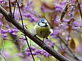 Blue Tit in spring, Botanical Garden Berlin.jpg