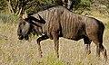 Blue Wildebeest (Connochaetes taurinus) (6621003769).jpg