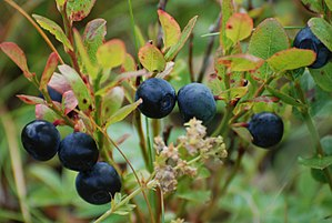 English: Blueberries growing in the wild at Li...