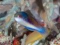 Blueside wrasse (Cirrhilabrus cyanopleura) (46196863285).jpg