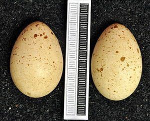 Hazel grouse - Eggs, Collection Museum Wiesbaden