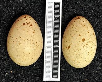 Hazel grouse - Eggs, Collection Museum Wiesbaden