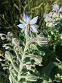 Borago officinalis sl8.jpg