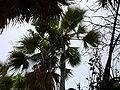 Borassus aethiopum 0017.jpg