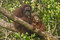 Bornean orangutan (Pongo pygmaeus), Tanjung Putting National Park 01.jpg