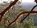 Borové větve, Houska.jpg