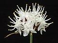 Borya sphaerocephala - Flickr - Kevin Thiele.jpg