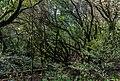 Bosque Encantado, Parque nacional de Garajonay, La Gomera, España, 2012-12-14, DD 12.jpg