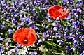 Botanischer Garten der Universität Zürich - Papaver (Roter Mohn) 2013-06-13 14-40-08.JPG