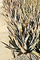 Botswanan Aloes - National Botanical Garden of Botswana 2.jpg
