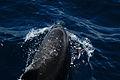 Bottlenose dolphin (4202558414).jpg