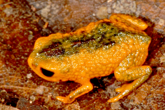 Brachycephalus fuscolineatus.png