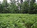 Bracken fern opening - panoramio.jpg