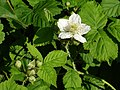 Bramble flower - geograph.org.uk - 188099.jpg