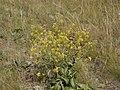 Brassica elongata integrifolia 21328716.jpg