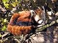Bristol.zoo.red.panda.arp.jpg