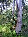 Bromélia em eucalipto.jpg