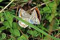 Brown argus butterflies (aricia agestis) 1 of 5.jpg
