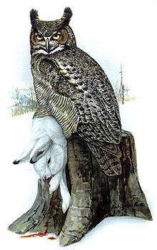 Great Horned Owl - Bub...