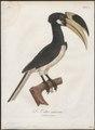 Buceros coronatus - 1801 - Print - Iconographia Zoologica - Special Collections University of Amsterdam - UBA01 IZ19300183.tif