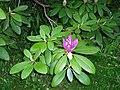 Budding Rhododendron (8398517801).jpg