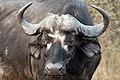 Buffalo, Kruger National Park, South Africa (14987438995).jpg