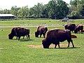 Buffalos (160560169).jpg
