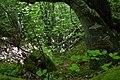 Bukova šuma.jpg