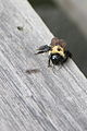 Bumblebee (3504890873).jpg
