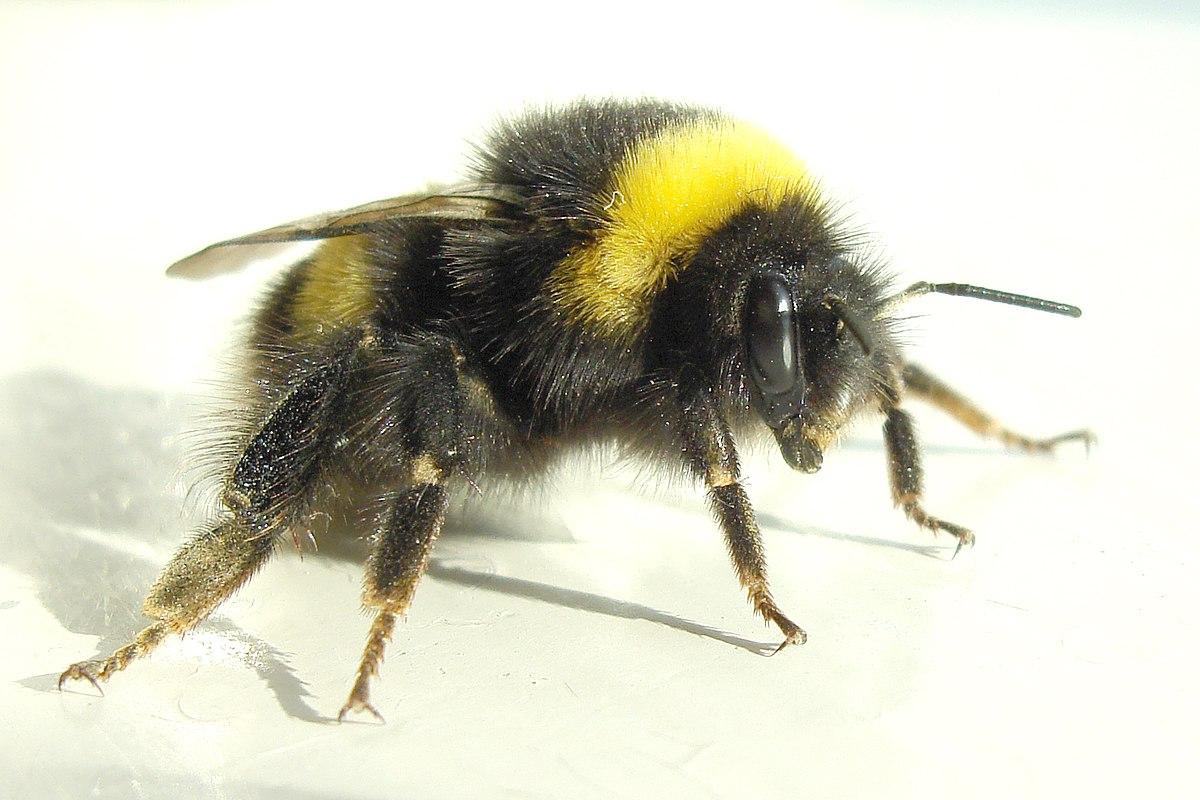 Trzmiel wikis ownik wolny s ownik wieloj zyczny - Bumble bee pictures a colori ...