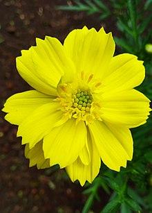 Bunga Kenikir.jpg