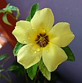 Bunga Pukul Delapan (Turnera ulmifolia).jpg